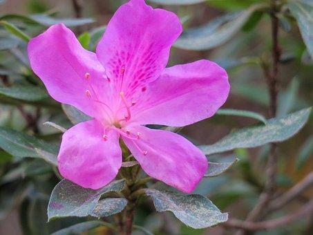 Hong Kong, Rhododendron, Plant, Petal, Color, Green