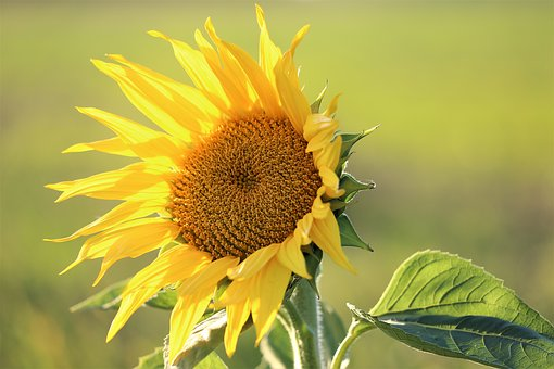Cornflower, Plant, Flower, Yellow, Green, Meadow