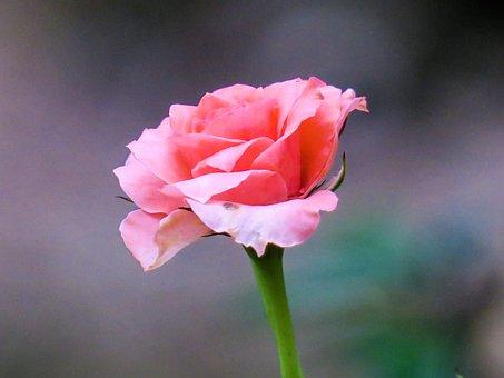 Hong Kong, Rose, Plant, Petal, Color, Green, Bud