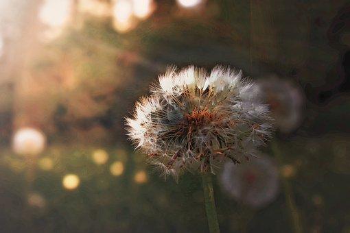 Dandelion, Pointed Flower, Summer, Sunrise, Meadow