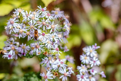 Bee, Insect, Nature, Pollen, Nectar, Bloom, Flower
