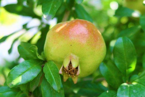 Pomegranate, Fruit, Food, Fresh, Leaves, Tree, Plant