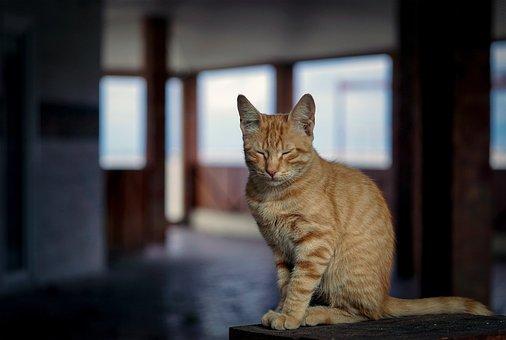 Sleepy, Cat, Animals, Cute, Head, Portrait, Eyes, Tired
