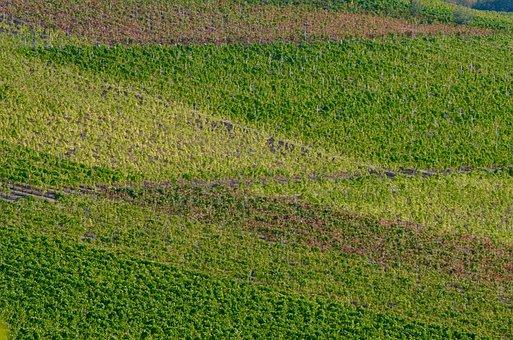 Vineyard, Vines, Winegrowing, Autumn, Vintage, Ripe