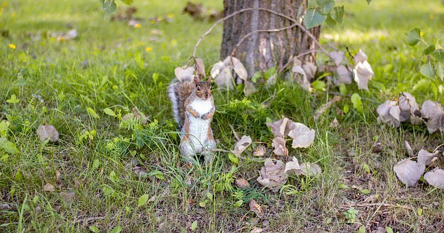 Squirrel, Animal, Nature, Rodent, Cute, Nager, Fur