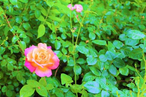 Rose, Leaves, Spring, Flower, Nature, Plant, Romantic