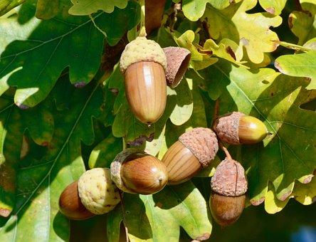 Acorn, Autumn, Leaves, Tree, Oak, Forest, Oak Leaves