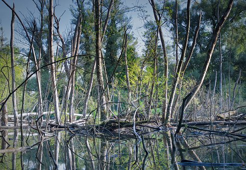 Bannwald, Forest, Trees, Nature, Water, Landscape