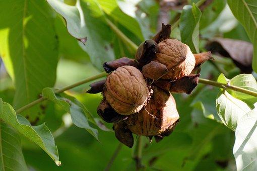 Walnut, Nuts, Walnuts, Shell, Fresh, Autumn
