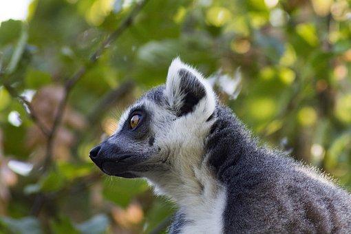 Ring Tailed Lemur, Zoo, Lemur, Animal World, Watch