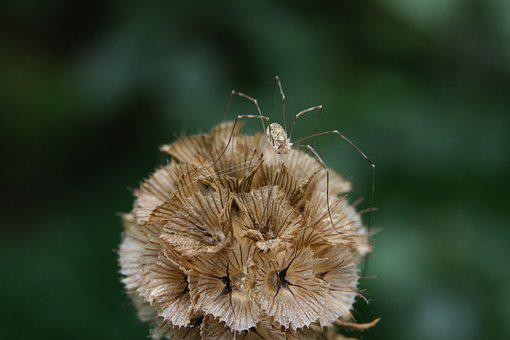Insect, Spider, Weber Servant, Dry, Trockenblume