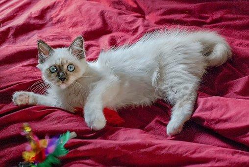 Cat, Player, White, Cute, Feline, Animal, Kitten, Sweet