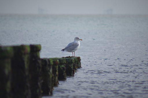 Seagull, Sea, Nature, Gull, Coast, Wildlife, Groins