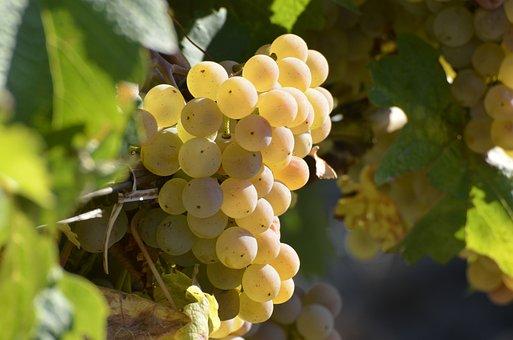 Wine, Grapes, Vine, Grapevine, Winegrowing, Autumn