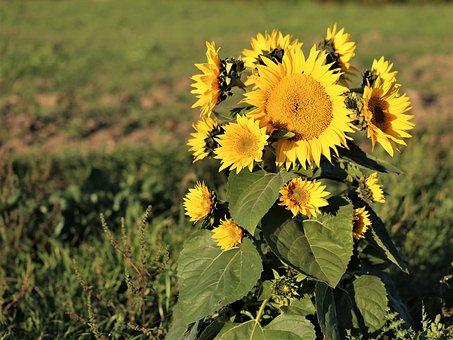 Cornflower, Bush, Plant, Flowers, Yellow, Green, Meadow