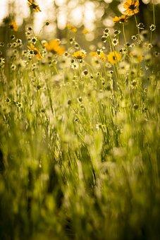 Yellow, Sunflower, Twilight