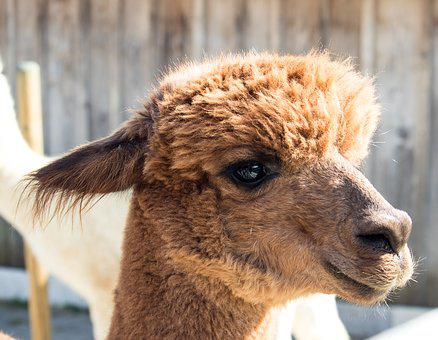 Alpaca, Animal, Mammal, Creature, Head, Peru, Wool