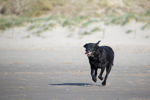 Labrador, Beach, Dunes, Racing, Dog, Sea, Animal, Pet