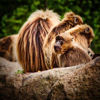 Dschelada, The Blood Breast Baboons, Ape, Primates