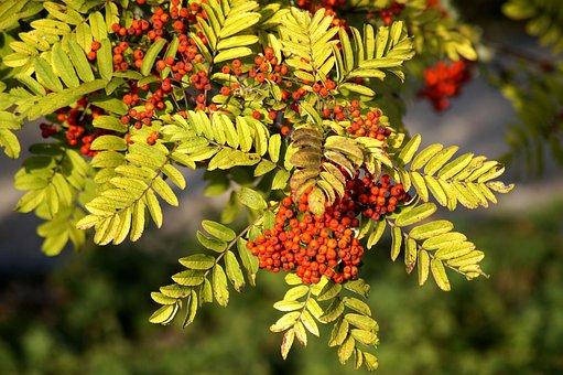 Rowan, Autumn, Bird Berries Branch, Leaves, Harvest