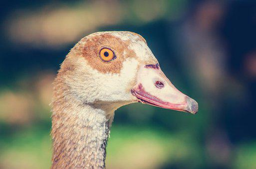 Goose, Portrait, Feathers, Beak, Bill, Eye, Animal