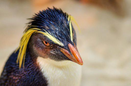 Penguin, Head, Beak, Bill, Feathers, Cute, Black, Tux
