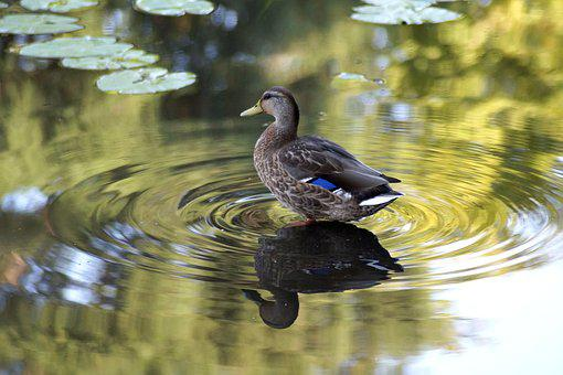 Duck, Mallard, Lake, Water, Bird, Pond, Animal World