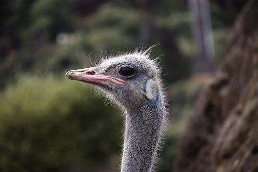 Ostrich, Portrait, Animal, Bouquet, Birds, Funny