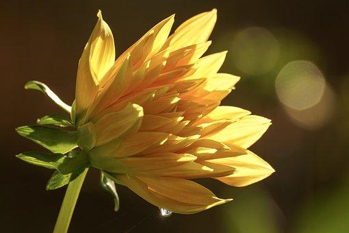 Dahlia, Blossom, Bloom, Petals, Beauty, Yellow, Light