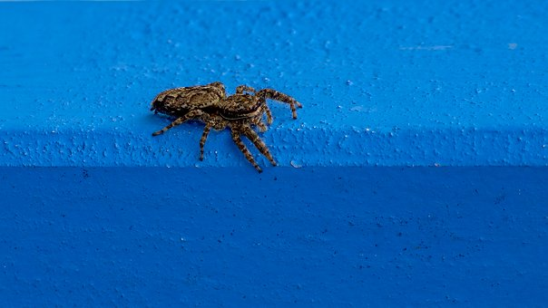 Spider, Jumping Spider, Insect, Close Up, Hairy, Blue