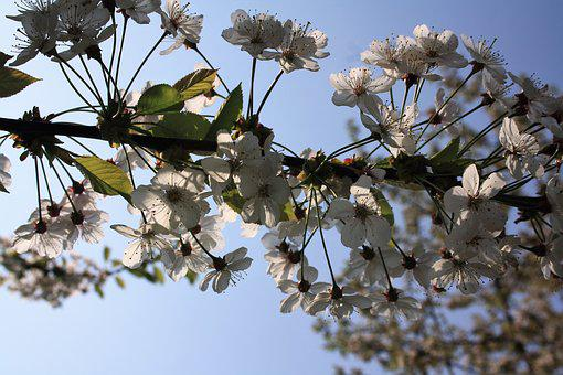 Cherry Blossoms, Sky, Blue, Sunny, Flowering Twig