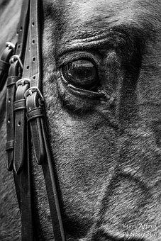 Horse, Horses, Show Hunter, Equine, Riding, Bridle