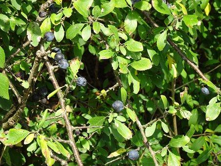 Blackthorn, Sloes, Bush, Berry Blue, Berries, Prunus