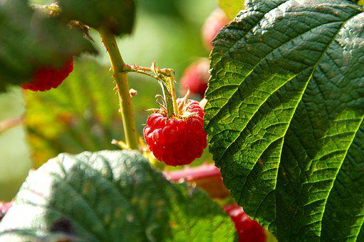Fruit, Raspberries, Raspberry, Bush, Vitamins, Healthy