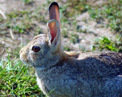 Mountain Cottontail, Rabbit, Cottontail, Bunny, Animal