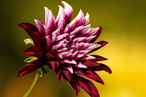 Dahlia, Blossom, Bloom, Petals, Beauty, Pour Pour