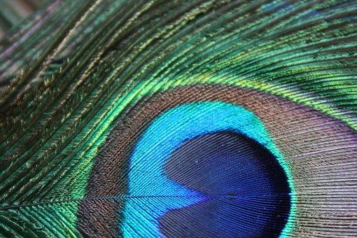 Bird Feather, Feather, Peacock Feather, Macro, Delicate