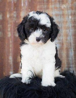 Sheepadoodle, Dog, Puppy, Animal, Cute, Cute Animal
