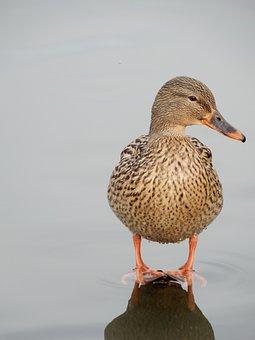 Pond, Duck, Japan, Bird
