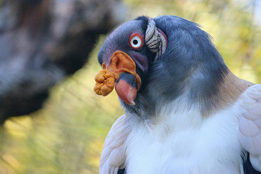 King Vulture, Bird, Colorful, Zoo, Enclosure, Portrait