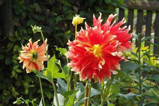 Dalia, Garden, Flower, Flora, In The Fall, Wheatgrass
