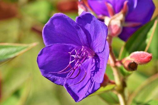 Melastomataceae, Flower, Purple, Violet, Blossom, Bloom