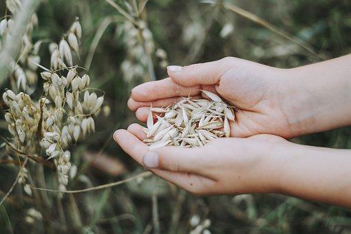 Oats, Cereals, Field, Food, Muesli, Breakfast, Grain