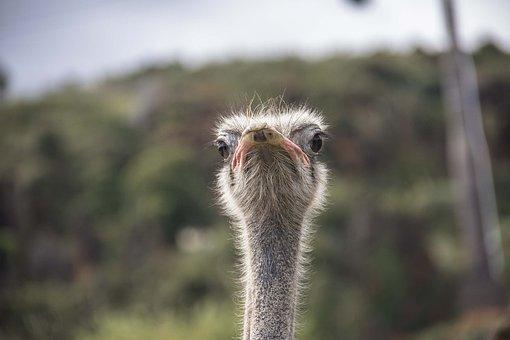 Ostrich, Portrait, Animals, Bouquet, Funny, Nature, Pen