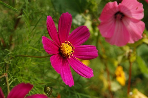 Purple, Lilac, Pink, Flower, Garden, Flowers, Perk