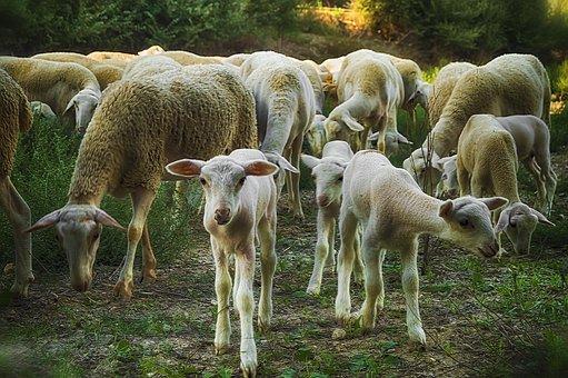 Lamb, Sheep, Flock, Livestock, Herd, Group