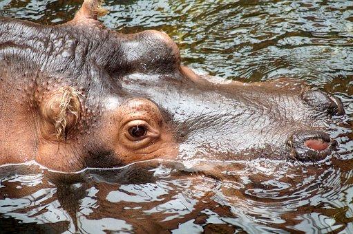 Hippopotamus, Hippo, Eye, Skin, Animal World