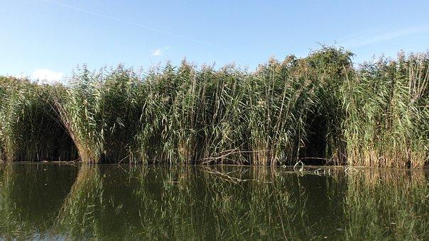 Reed, Water, Water Reed, Lake, Waters, Mirroring, River
