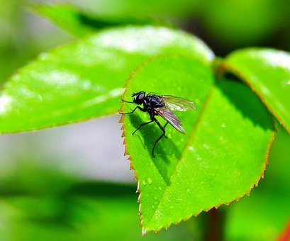 Fly, Green, Leaf, Insect, Macro