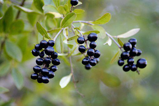 Berries, Fruit, Tree, Plant, Nature, Leaf, Branch